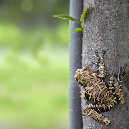 열 대 아마존 우림, Hyloscirtus armatus에서에서 나무 개구리. 스톡 콘텐츠