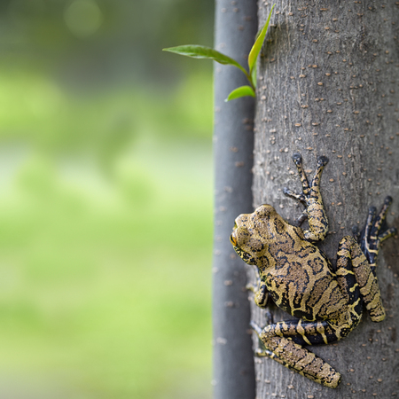 amazonian: tree frog in tropical Amazonian rain forest, Hyloscirtus armatus.