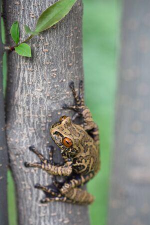 amazonian: tree frog in tropical Amazonian rain forest, Hyloscirtus armatus
