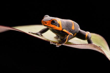 rana venenosa: veneno de rana Ranitomeya imitador, un animal venenoso tropical de la selva tropical del Amazonas en Perú y Ecuador Foto de archivo