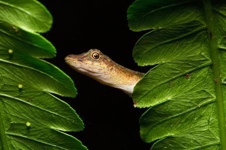 amazonian: Anolis a small lizard in the Amazonian rain forest