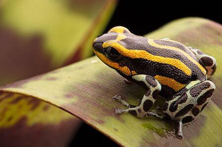 amazon rain forest: Poison Dart frog from the Amazon rain forest in Peru, Ranitomeya lamasi panguana.
