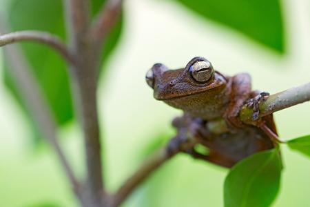 amazonian: beautiful tropical tree frog in Amazonian rain forest. hypsiboas callipleura