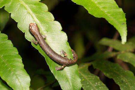 amazon rain forest: tropical newt in Amazon rain forest. Bolitoglossa sp.