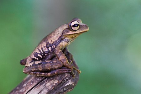 treefrog: tree frog in tropical Amazon rain forest Peru. Stock Photo