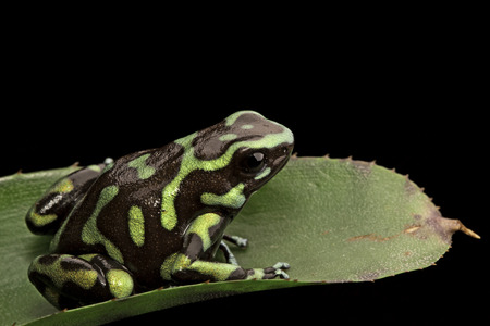 dart frog: golden poison dart frog, Dendrobates auratus from the tropical rain forest of Panama, a beautiful poisonous rainforest animal