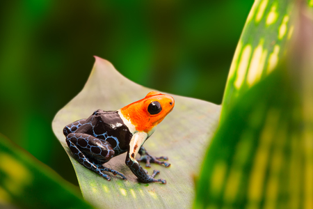 ranitomeya: Poison dart frog, ranitomeya fantastica in the tropical Amazon rain forest of Peru. A macro of a small poisonous and toxic animal in the jungle. Stock Photo