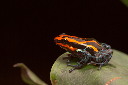 dart frog: Red striped poison dart frog , ranitomeya amazonica. A poisonous small rainforest animal living in the Amazon rain forest in Peru. Stock Photo