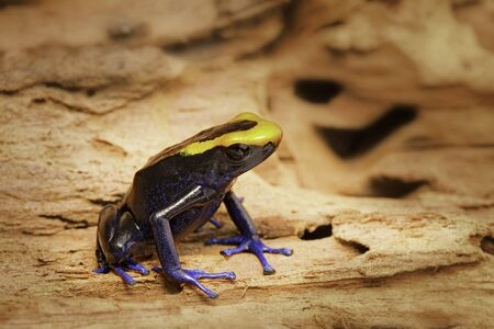 arrow poison: Dyeing dart frog, tinc or dendrobates tinctorius lorenzo is a poisonous poison arrow frog from the amazon rain forest in Brazil, French guyana an Suriname. Vivid blue and orange colors. Stock Photo