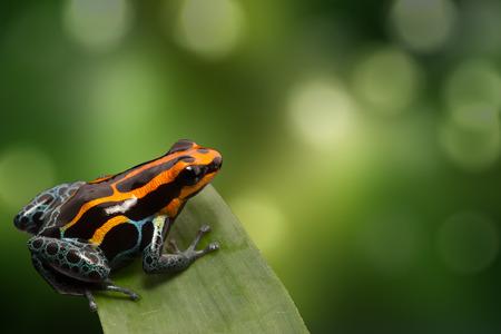 poison frog: Rana roja del dardo del veneno de rayas, Ranitomeya amazonica. Un pequeño animal venenoso selva tropical que vive en la selva amazónica en el Perú. Foto de archivo