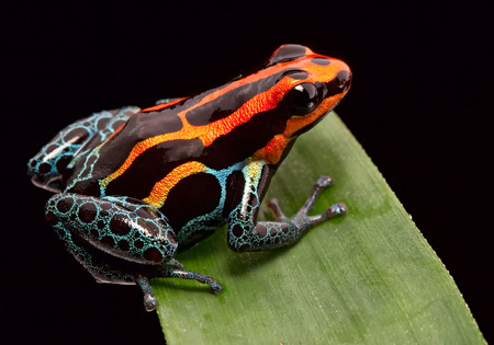 poison frog: Red striped poison dart frog , ranitomeya amazonica. A poisonous small rainforest animal living in the Amazon rain forest in Peru. Stock Photo