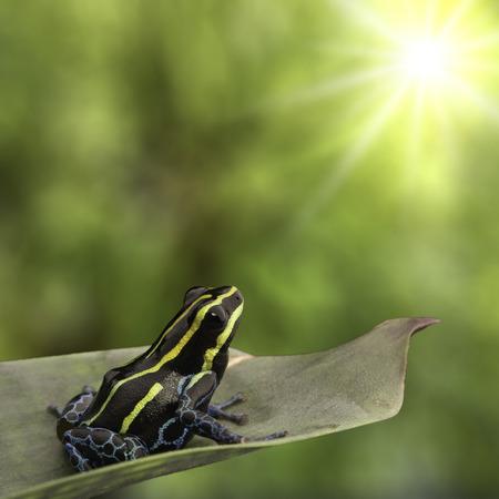 rana venenosa: Rana amarilla del dardo del veneno de rayas, Ranitomeya imitador. Una macro de un pequeño anfibio venenoso de la selva tropical del Amazonas en Perú Brasil y Ecuador. Foto de archivo