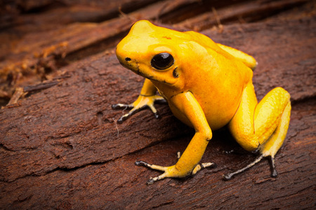 poison frog: poisonous frog, poison dart frog Phyllobates terribilis a dangerous animal from the tropical rain forest of Colombia. Toxic amphibian with bright yellow and orange colors