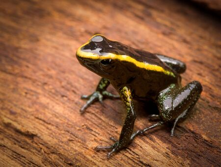rana venenosa: veneno de la rana tropical phyllobates aurotaenia de la selva tropical del Amazonas en Colombia. Una macro de un pequeño anfibio venenoso de la selva tropical. Toxix y animal peligroso.