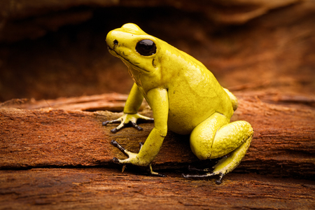 rana venenosa: poisonous frog, poison dart frog Phyllobates terribilis a dangerous animal from the tropical rain forest of Colombia. Toxic amphibian with bright yellow and orange colors