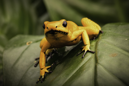 poison frog: poison dart frog, Phyllobates terribilis orange. Most poisonous animal from the Amazon rain forest in Colombia, a dangerous amphibian with warning colors. Stock Photo