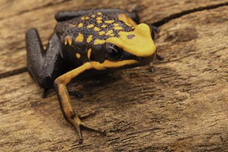 rana venenosa: poison dart or arrow frog, Ameerega silverstonei. Orange poisonous animal from the Amazon rain forest of Peru.