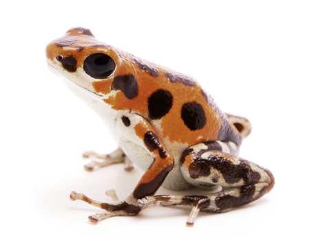 dendrobates: Poison dart or arrow frog, a morph found on Red Frog Beach, Bastimentos, Bocas del Toro, Panama. Tropical poisonous rain forest animal, Oophaga pumilio isolated on a white background.