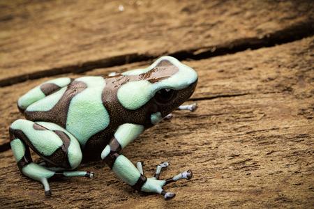 rana venenosa: Poison dart frog, Dendrobates auratus Pena Blanca. Poisonous rain forest animal from Panama.