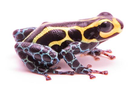 ranitomeya: Poison dart frog, Ranitomeya imitator baja huallaga. A small poisonous animal from the tropical Amazon rain forest of Peru. Isolated on white background.