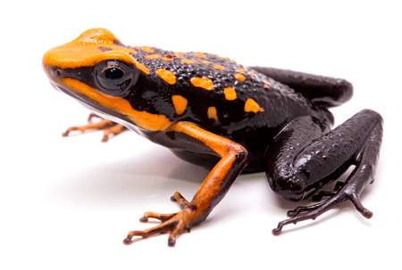 poison dart or arrow frog, Ameerega silverstonei. Orange poisonous animal from the Amazon rain forest of Peru. Isolated on white background. Stock Photo