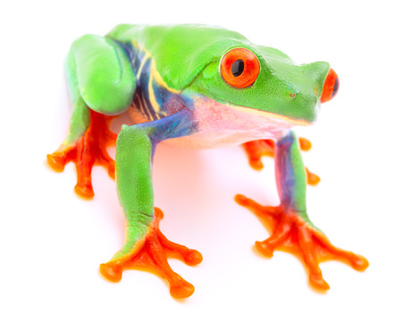 Red eyed monkey tree frog from the tropical rain forest of Costa Rica and Panama. A cute funny exotic animal with vibrant eyes isolated on a white background. Stock Photo