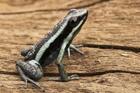 rana venenosa: Pleasing poison dart frog, Ameerega bassleri. Tropical and poisonous rain forest animal from the Amazon jungle in Peru.