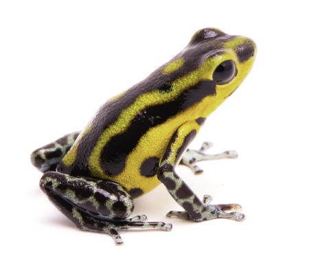 rana venenosa: Poison dart frog, an amphibain with vibrant yelllow.Tropical poisonous rain forest animal, Oophaga pumilio isolated on a white background.