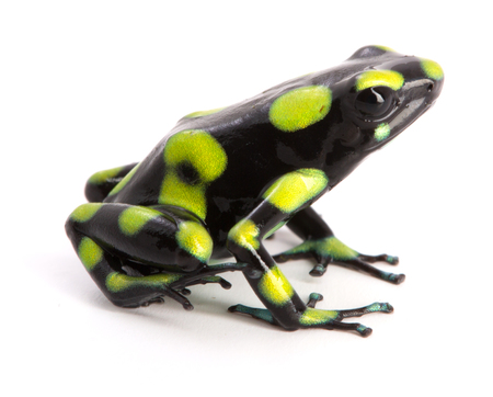 dendrobates: Dendrobates auratus, a poison dart frog from the rain forest of Colombia isolated on a white background.