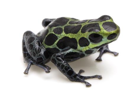 ranitomeya: Poison dart frog, Ranitomeya variabilis. Macro of a beautiful rain forest animal from the Amazon jungle of Peru. Isolated on a white background. Stock Photo