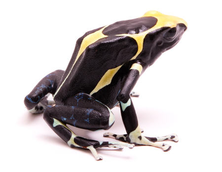 Male deying poison dart frog, Dendrobates tinctorius. A poisonous Amazon rain forest animal isolated on white.