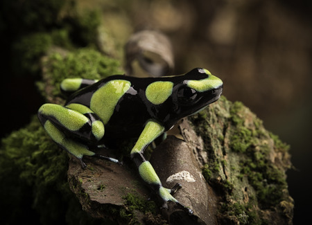 dendrobates: Tropical poison dart frog from the Amazon rain forest in Colombia. Dendrobates auratus a macro of a poisonous rainforest  animal in the rainforest.