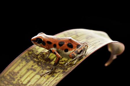 Poison arrow frog Oophaga pumilio a small tropical amphibian from the jungle of Bastimentos, Bocas del  Stock Photo