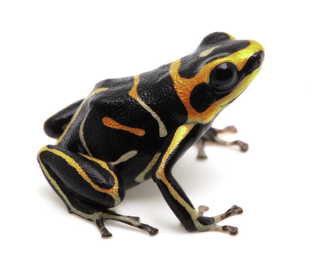 striped  poison dart or arrow frog, Ranitomeya fantastica. A beautiful small poisonous animal from the Amazon rain forest in Peru. Isolated on white background.