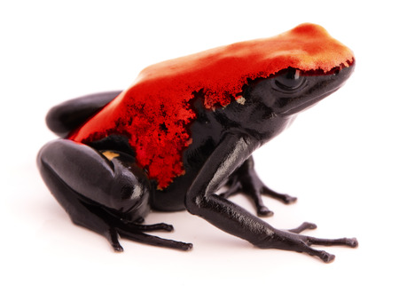 dendrobates: Splashback Poison Dart Frog Adelphobates or Dendrobates galactonotus a poisonous animal from the tropical Amazon rain forest in Brazil. Isolated on white background Stock Photo