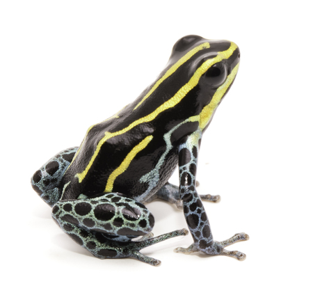 ranitomeya: yellow striped poison dart frog, Ranitomeya ventrimaculata. Macro of a small poisonous animal, from the Amazon rain forest. Isolated on white. Stock Photo