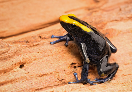 dendrobates: Dyeing poison dart frog, Dendrobates tinctorius lorenzo. A beautiful poisonous animal from the Amazon rain forest. Vivid blue and yellow colors. Stock Photo