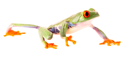 red eyed tree frog crawling isolated on white, a beautiful macro of a tropical rain forest animal ot the rainforest of Costa Rica