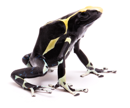 dendrobates: Male deying poison dart frog, Dendrobates tinctorius. A poisonous Amazon rain forest animal isolated on white.  Stock Photo