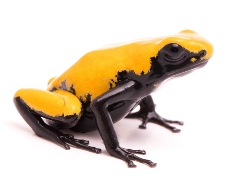 Adelphobates galactonotus, yellow splash backed or splashback poison dart frog. A poisonous rain forest animal from the Amazon rainforest in Brazil. Isolated on a white background. Stock Photo