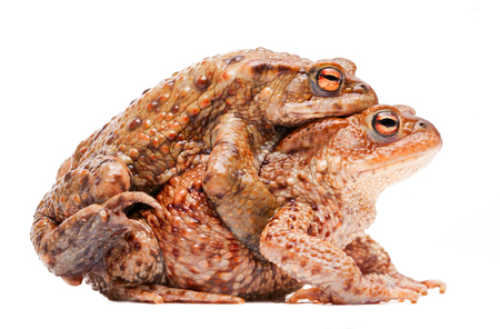 Mating couple of the common toad, Bufo bufo. A male animal in amplexus on the female. Amphibian isolated on white background. Stock Photo