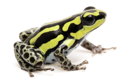 ranitomeya: Poison dart or arrow frog, Ranitomeya flavovittata. A yellow striped poisonous animal from the tropical Amazon rain forest in Peru. Isolated on white background.