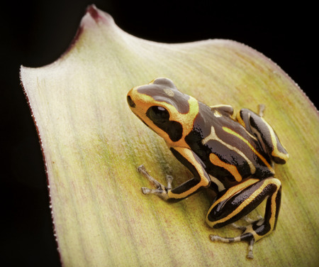 dendrobates: poison dart frog, Ranitomeya fantastica striped morph. A small Dendrobates from the Amazon rain forest in Peru. This animal is an endangered species and needs nature conservation.