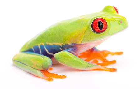 Agalychnis callidryas or the red eyed monkey tree frog, from the rain forest of Panama and Costa Rica isolated on white. Stock Photo