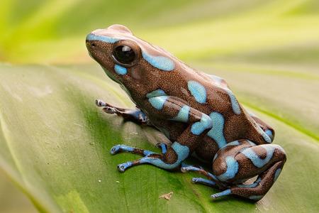 파나마의 이국적인 우림에서 열 대 독 다트 개구리. 작은 유독 한 열대 우림 동물의 매크로입니다. Dendrobates auratus입니다.