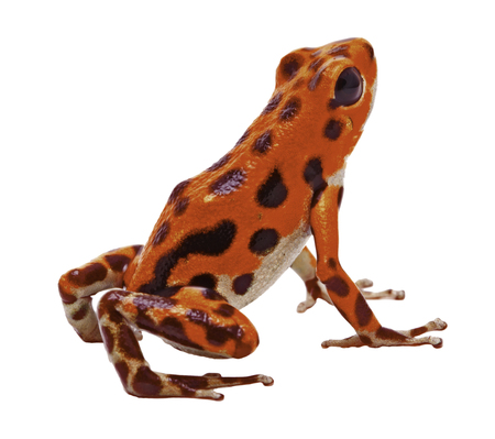 red poison dart or arrow frog from the tropical Island Bastimentos at Red Frog Beach, Boca del Toro, Panama. Tropical poisonous rain forest animal, Oophaga pumilio isolated on a white background. Stock Photo