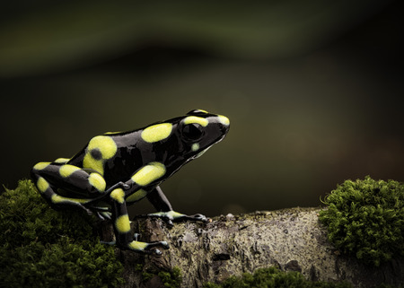 dendrobates: Tropical poison dart frog in Amazon rain forest Colombia. Dendrobates auratus a macro of a poisonous amphibian in the rainforest.