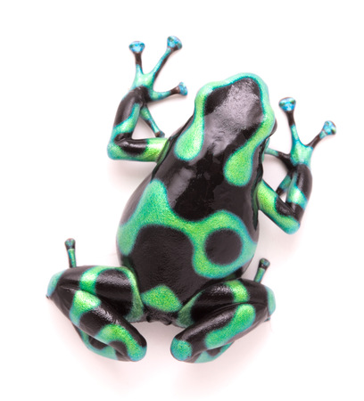 dendrobates: poison dart, Dendrobates auratus. A toxic tropical animal from the rain forest of Costa Rica. Isolated on a white background.  Stock Photo
