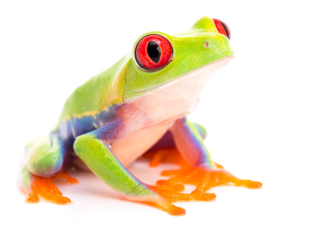 Red eyed tree frog, Agalychnis callidryas, a beautiful animal from the tropical rain forest of Panama and Costa Rica Stock Photo