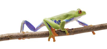 アカメアマガエル白で隔離小枝の上でクロールします。美しいエキゾチックな動物のコスタ Ric の熱帯雨林の森から。 写真素材